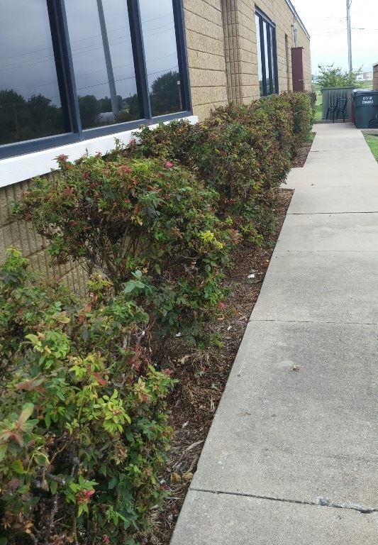 Shrubs before trimming and removal
